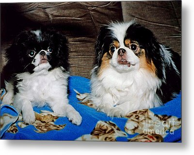 Japanese Chin Dogs Looking Guilty Metal Print by Jim Fitzpatrick