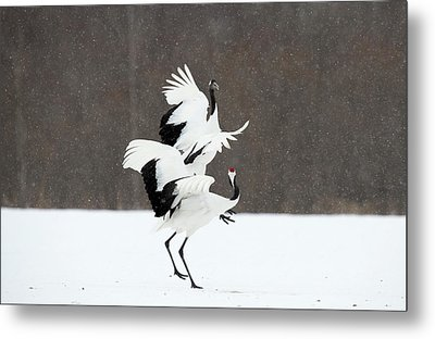 Japanese Cranes Displaying Metal Print by Dr P. Marazzi