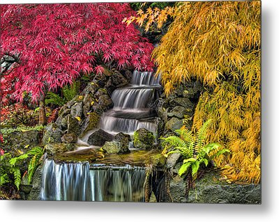Japanese Laced Leaf Maple Trees In The Fall Metal Print by David Gn