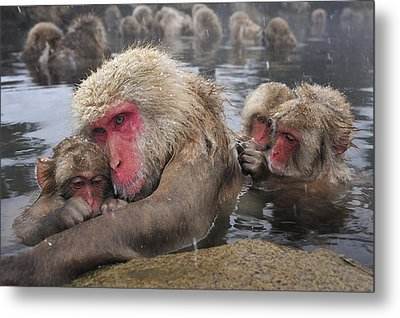 Japanese Macaque Grooming Mother Metal Print by Thomas Marent