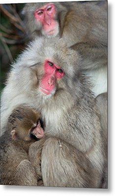 Japanese Macaque Monkey Suckling Baby Metal Print