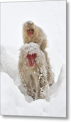 Japanese Macaque Mother Carrying Baby Metal Print by Thomas Marent
