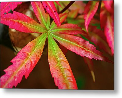 Japanese Maple Metal Print by Kara  Stewart