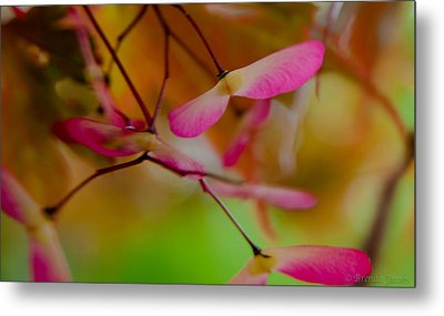 Japanese Maple Seedling Metal Print by Brenda Jacobs