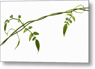 Jasmine Leaves Pattern  Metal Print
