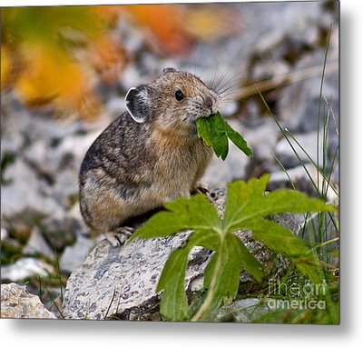 Jasper - Pika Metal Print by Terry Elniski