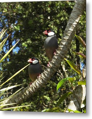 Java Sparrows Metal Print by Colleen Cannon