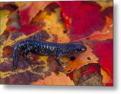 Jefferson Salamander Metal Print by Paul J. Fusco