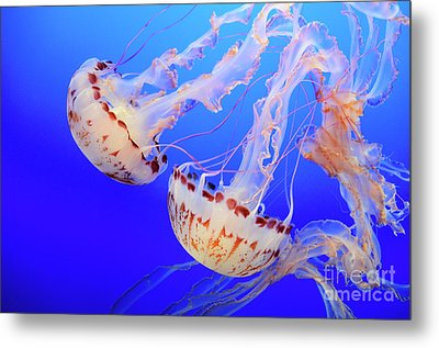 Jellyfish 9 Metal Print by Bob Christopher