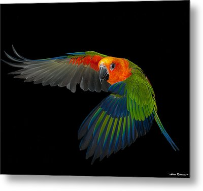 Metal Print featuring the photograph Jenday In Flight by Avian Resources