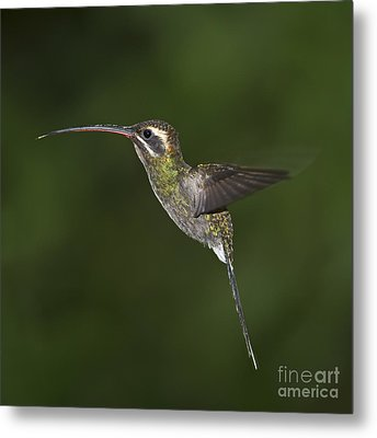 Jewel On Wings.. Metal Print by Nina Stavlund