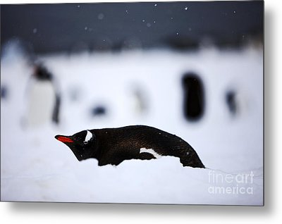 Joe Fox Fine Art - Gentoo Penguin Pygoscelis Papua Lying In The Snow Cuverville Island Antarctica Metal Print by Joe Fox