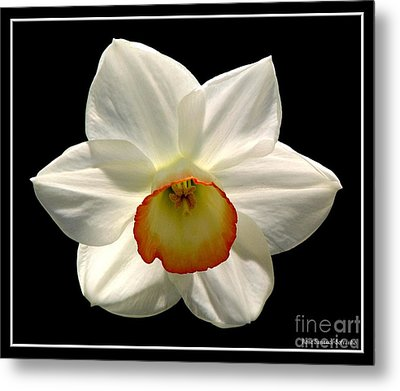 Metal Print featuring the photograph Jonquil 1 by Rose Santuci-Sofranko