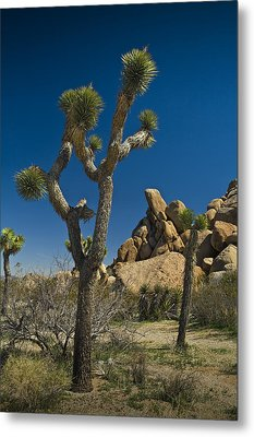 California Joshua Trees In Joshua Tree National Park By The Mojave Desert Metal Print