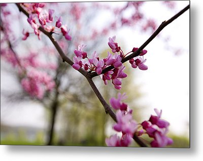 Judas Tree Blossom Metal Print by John Holloway