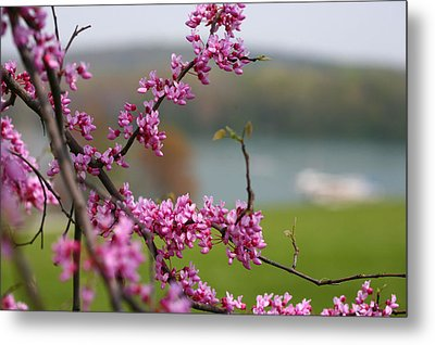 Judas Tree Metal Print by John Holloway