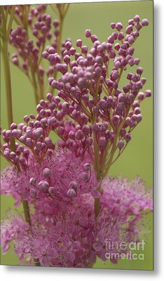 July Astilbe Metal Print by Patrick Fennell