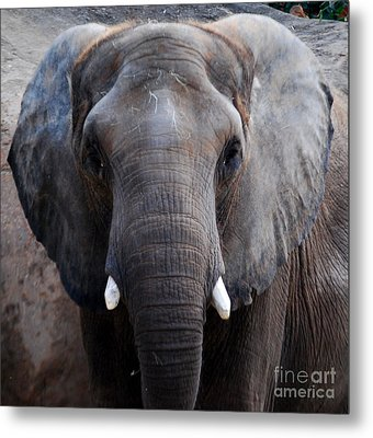 Metal Print featuring the photograph Jumbo by Nancy Bradley