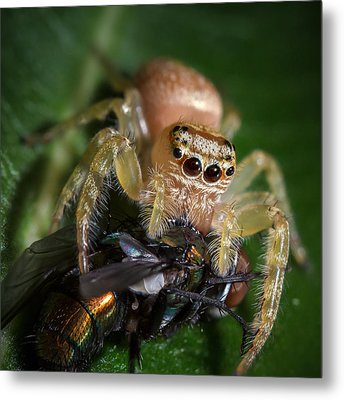 Jumping Spider 3 Metal Print