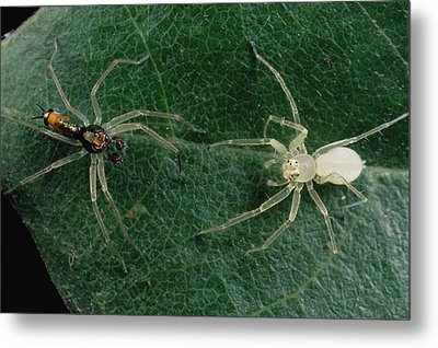 Jumping Spider Colorful Male And Pale Metal Print by Mark Moffett