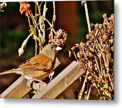 Metal Print featuring the photograph Junco Jaunt 2 by VLee Watson