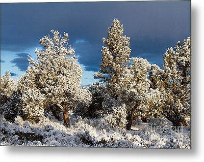 Juniper Trees In Snow Metal Print by Chris Scroggins