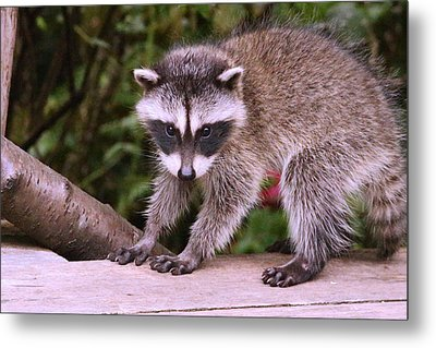 Just A New Fuzzy Little Feller Metal Print by Kym Backland