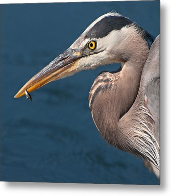 Just An Appetizer For A Great Blue Heron Metal Print by Kasandra Sproson