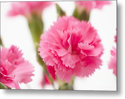 Just Carnations Metal Print