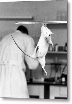 Just Hanging Lab Rat Metal Print by Underwood Archives