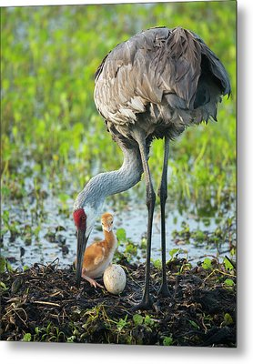 Just Hatched, Sandhill Crane Rotating Metal Print by Maresa Pryor