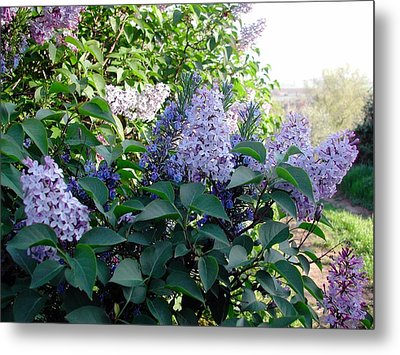 Just Lilac Metal Print by Dorothy Berry-Lound