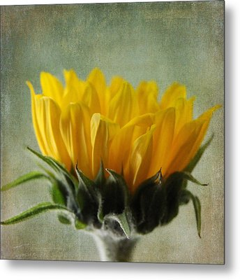 Just Opening Sunflower Metal Print
