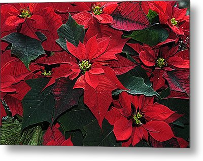 Just Poinsettia's Metal Print by Geraldine Alexander