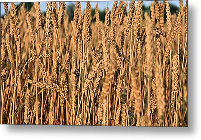 Just Wheat  Metal Print by JC Findley