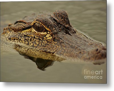 Juvenile Alligator Metal Print by Lynda Dawson-Youngclaus