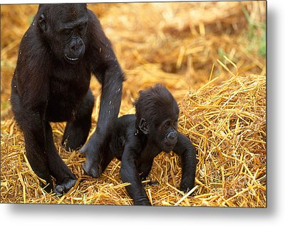 Juvenile And Baby Lowland Gorillas Metal Print by Art Wolfe