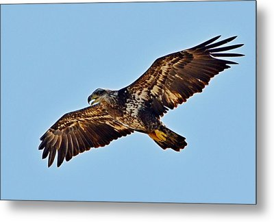 Juvenile Bald Eagle In Flight Close Up Metal Print by Jeff at JSJ Photography