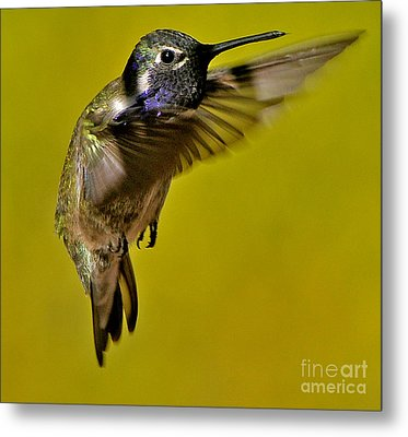 Metal Print featuring the photograph Juvenile Male Allen Hummingbird In Flight Ready To Land by Jay Milo