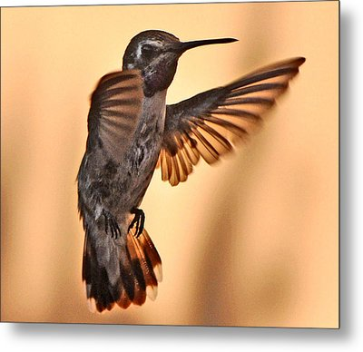 Juvenile Male Anna's In Flight Metal Print by Jay Milo