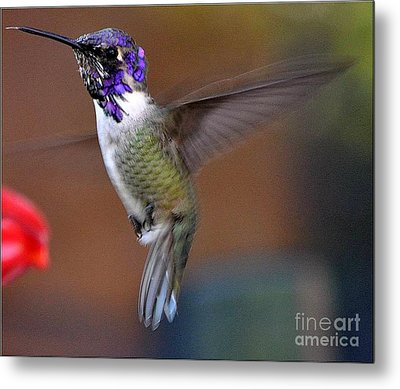 Metal Print featuring the photograph Juvenile Male Costa by Jay Milo