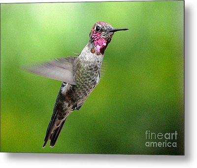 Metal Print featuring the photograph Juvenile Male Anna's In Flight by Jay Milo
