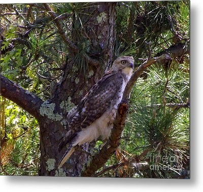 Juvenile Red-tailed Hawk Metal Print by CapeScapes Fine Art Photography