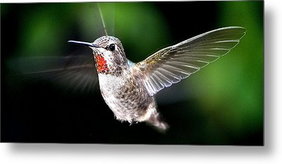 Juvenile Red Thoated Hummingbird Metal Print by Jay Milo