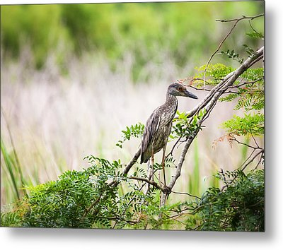 Juvenile Yellow Crowned Night Heron Metal Print by Zoe Ferrie