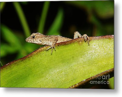 Juvie Brown Anole Metal Print by Lynda awson-Youngclaus