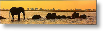 Metal Print featuring the photograph Kalahari Elephants Crossing Chobe River by Amanda Stadther