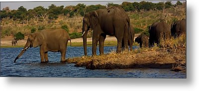 Metal Print featuring the photograph Kalahari Elephants Preparing To Cross Chobe River by Amanda Stadther