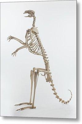 Kangaroo (macropus) Metal Print