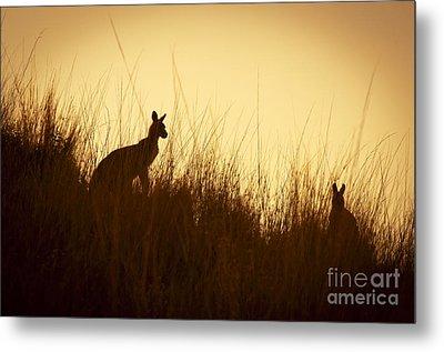Kangaroo Silhouettes Metal Print by Tim Hester